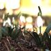 Hóvirágok a kertben