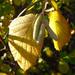Mogyoró októberi virága