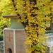 Gesztenyefa tövében