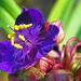 harmatos indás virág