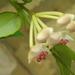 viaszvirág2