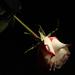 Gyűjtemény - Rózsák