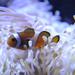 Közönséges bohóchal