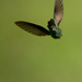 Rufous-tailed-Hummingbird14