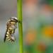 Alvó Anthidium florentinum