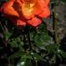 Porcelán rózsa