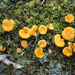 Gomba Chanterelle-mushroom-patch-close-up