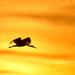 Fiatal vonuló fekete gólya