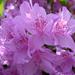 Rododendronok között 27