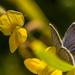 Pillangós
