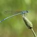 Platycnemis pennipes Széleslábú szitakötő