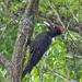 Fekete harkály (Dryocopus martius)