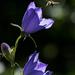 Baracklevelű Harangvirág (Campanula persicifolia)