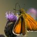 Barna busalepke (Thymelicus sylvestris)