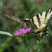 Kardfarkú pillangó(Iphiclides podalirius)