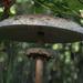 Nagy őzlábgomba (Macrolepiota procera)