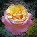 Sárga és rózsaszínű rózsa