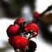 Megfagyott piros bogyók