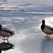Kacsák a jégen Fertő tó