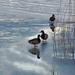 Fertő tó Tél Vadkacsák Jég