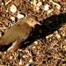 Napfürdő A fekete rigó (Turdus merula)