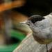 A barátcinege (Poecile palustris) Ablaküvegen át