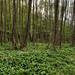 Erdő Medvehagyma (Allium ursinum)