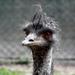 Kócosan / Az emu (Dromaius novaehollandiae)