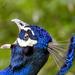 Kiáltás A kék páva vagy indiai páva (Pavo cristatus)