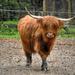 Skót felföldi szarvasmarha