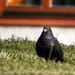 A házigalamb (Columba livia domestica)