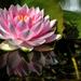 Water Lily Tavirózsa