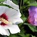 Mályvacserje (Hibiscus syriacus)