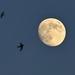 Hold Fecskék Nyár