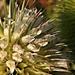 A héjakút mácsonya (Dipsacus laciniatus)
