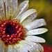 Virág Cseppek Nyár