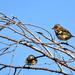 Az erdei pinty (Fringilla coelebs)