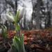 A hóvirág (Galanthus)