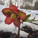 Virág a télben