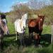 Fiatal lovak Tavasz