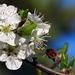 Szilvafa Virág Tavasz