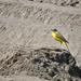 Sárga billegető (Motacilla flava) Fertő–Hanság