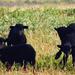Elcsavarogtak /Fekete racka bárányok