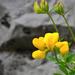 Szikla Virág Nyár