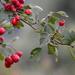 Piros bogyók Ősz
