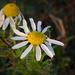 Sziki kamilla virág(Matricaria chamomilla)