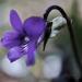 Tavasz Virágok Ibolya