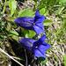 Encián (Gentiana clusii?)