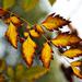 Autumn Leaves 0073