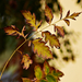 Autumn Leaves 0080